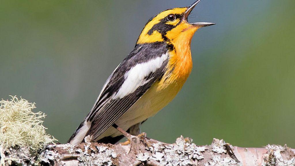 BirdNerd – Bird Song Identifier