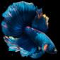 Betta-Fish-Live-Wallpaper-FREE